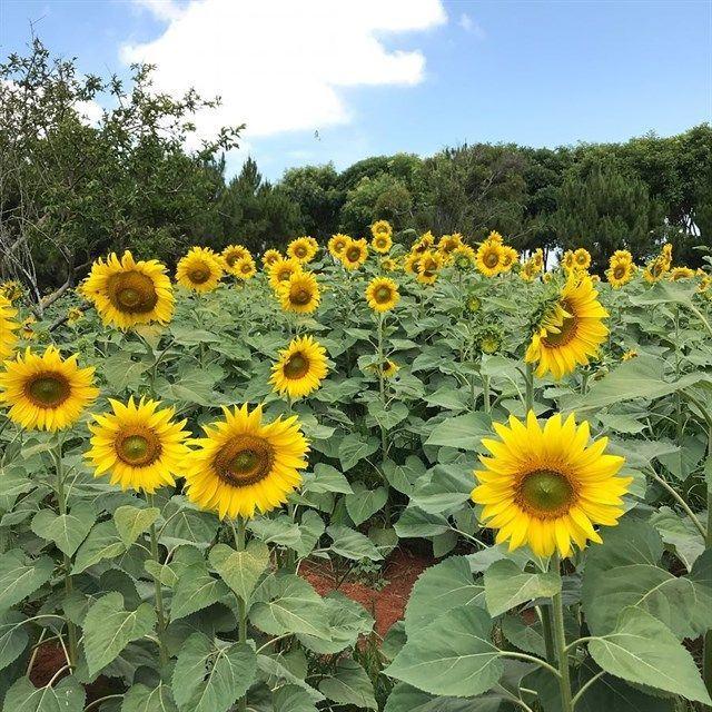 vườn hoa mặt trời tại đà lạt